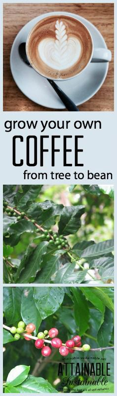 US grown coffee? Yes! The state of Hawaii produces excellent coffee, and you can try your hand at growing your own!