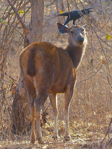 Sambar deer . Gir Forest . Gujarat