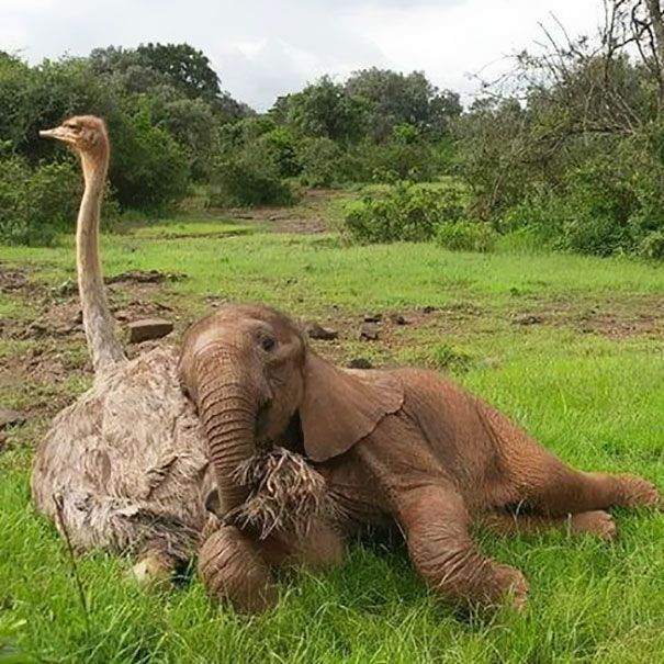 This Ostrich Snuggles Orphaned Elephants To Make Them Feel Better After Losing Their Moms