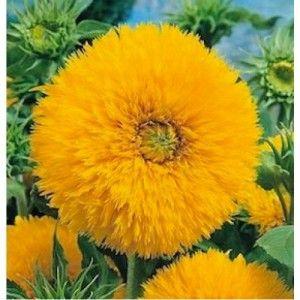 Sunflower Teddy bear termasuk jenis bunga matahari yang cantik, unik dan indah.  http://bit.ly/1SZZwp5 Minat? sms ke 082214890085