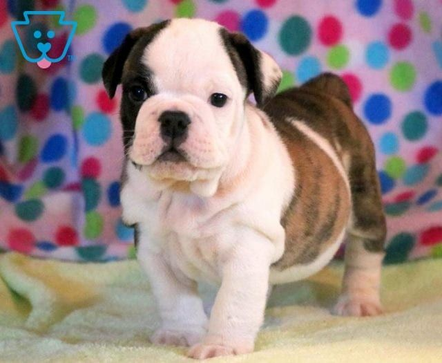 Chucky Bulldog Puppies For Sale Bulldog Puppies Puppies For Sale