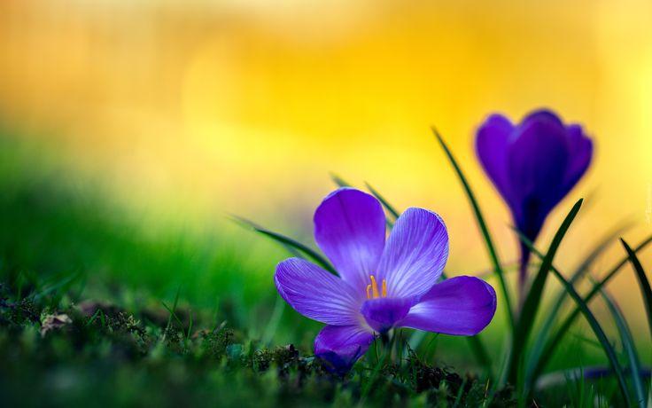 Wiosna, Dwa, Niebieskie, Krokusy
