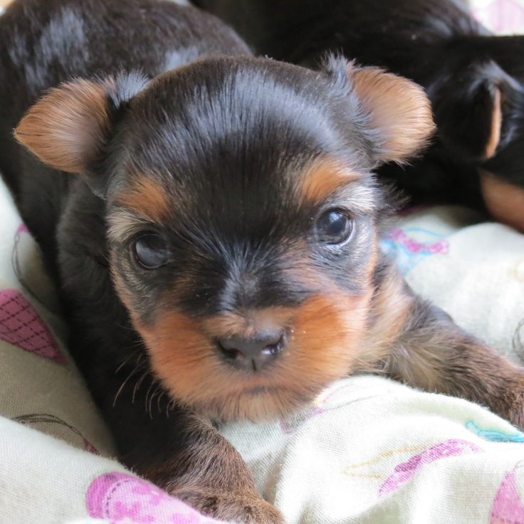 Yorkie puppy 3 weeks old