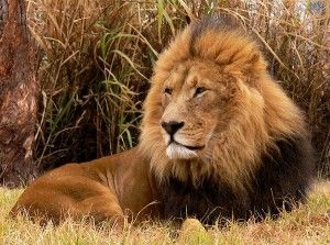 Thank Forest Officials for Saving Asiatic Lions
