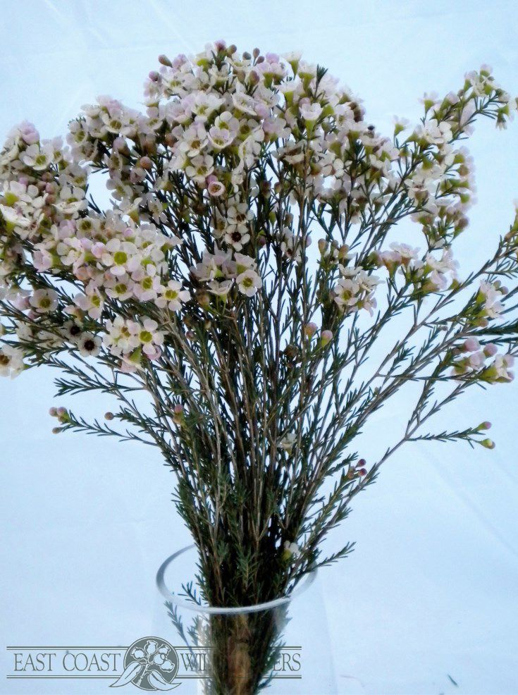 White waxflower - Available July-Nov for winter and spring wedding bouquets and all kinds of floristry. Dainty pretty flowers with a delicate lemon scent