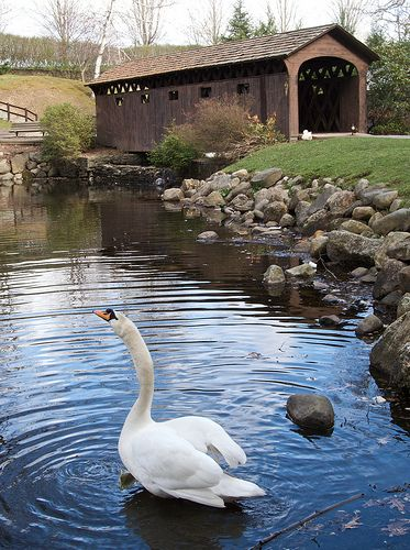 The Goodrich Covered Bridge is a small foot bridge over a man made pond in Stanley Park, Westfield, Massachusetts (USA). The pond is home to ducks, geese and swans like this one. It was built in 1965.