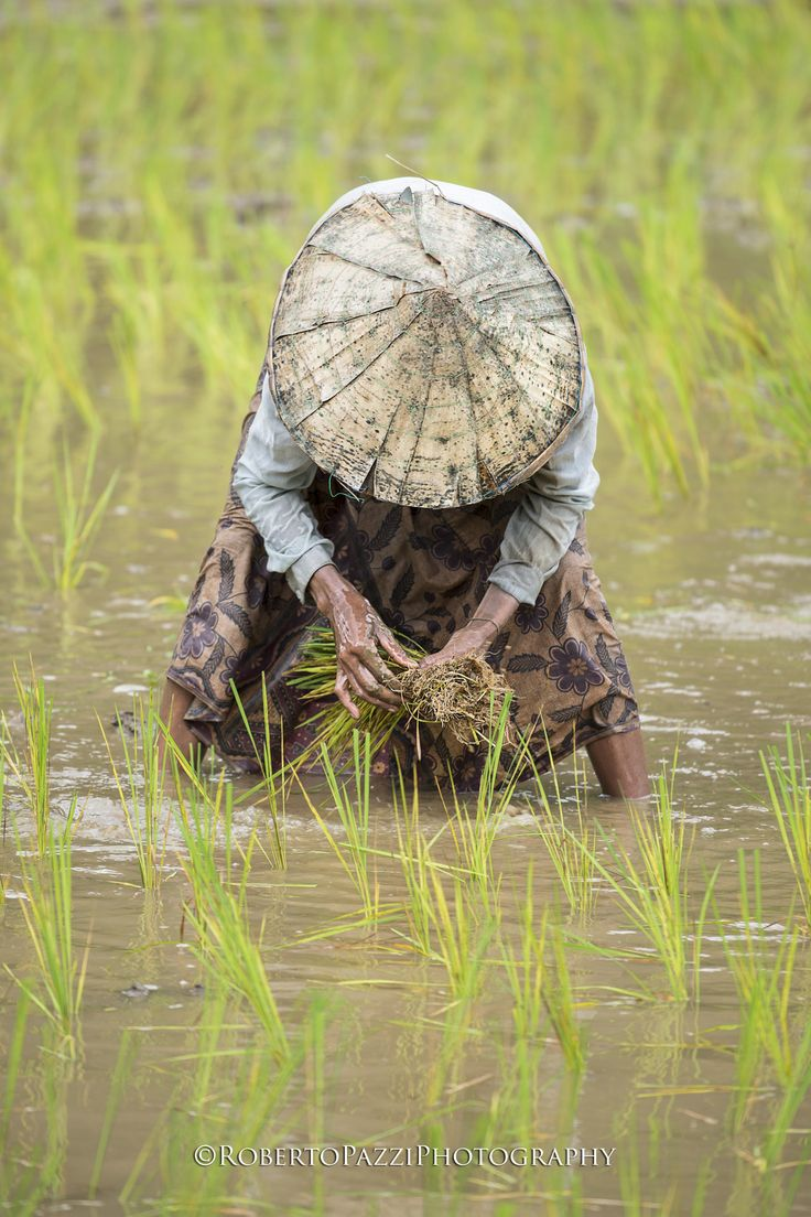 """The work in a rice field near Savannakhet (Laos). Visit http://robertopazziphotography.weebly.com subcribe to the newsletter and download the ebook """"Street of the World"""" as welcome gift! Web Site: http://robertopazziphotography.weebly.com Facebook: https://www.facebook.com/robertopazziphotography Instagram: Roberto_Pazzi_Photography"""