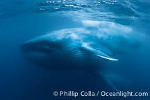 Blue whales (mother and calf) underwater feeding, the adult blue whale's throat is inflated after engulfing a huge mouthful of kril