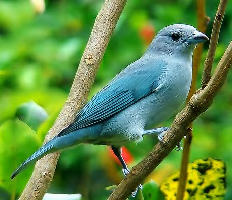 The sayaca tanager (Thraupis sayaca) is a species of bird in the Thraupidae family, the tanagers. It is a common resident in northeastern, central, and southeastern Brazil, and Bolivia, Paraguay, Uruguay, and northeast Argentina (where they are known as celestinos or celestinas).