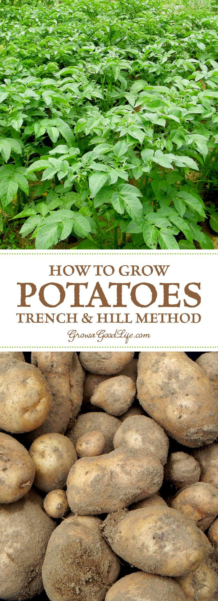 Weeds in flower beds with potato like roots - How To Grow Potatoes Trench And Hill Method