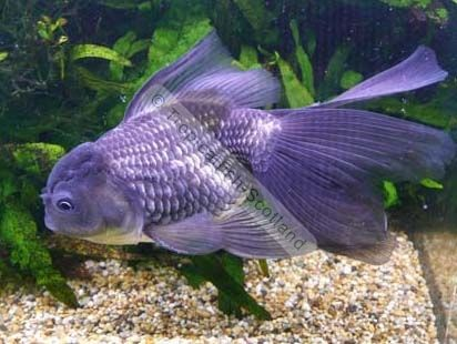 Fancy blue oranda goldfish gold fish pinterest for Outdoor goldfish for sale