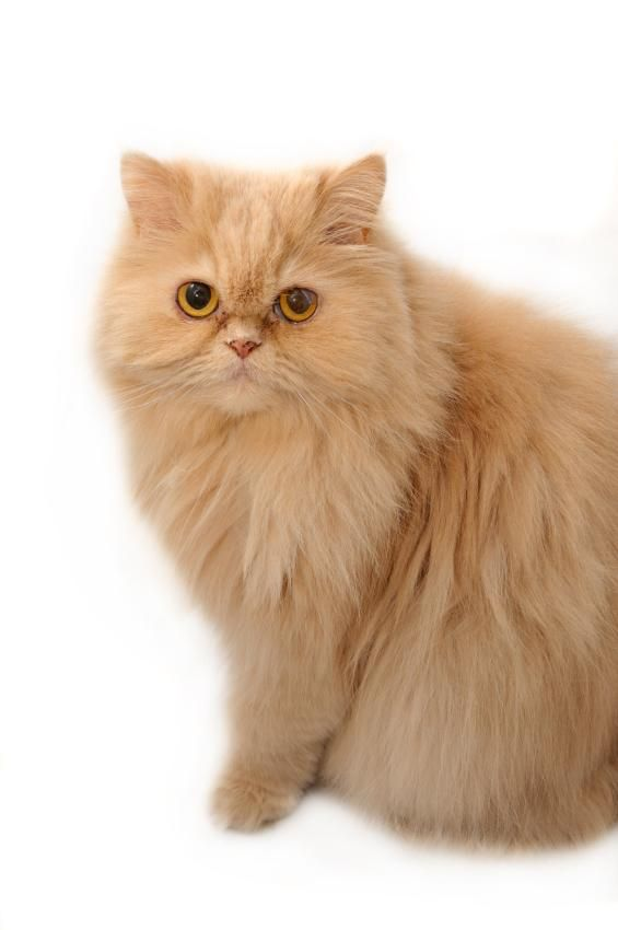Persian Cat - Persians have a sweet and soulful expression that can melt the hardest heart.
