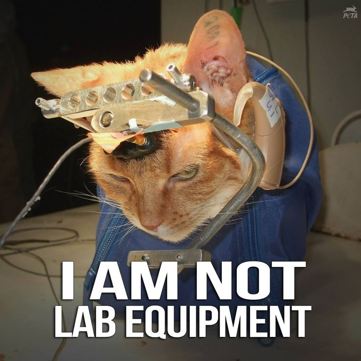 """For DECADES, University of Wisconsin-Madison has imprisoned, cut open, deafened, & KILLED cats in useless """"sound localization"""" experiments. SHARE & help us raise $20,000 to EXPOSE THIS TORTURE: http://peta.vg/1cx1"""