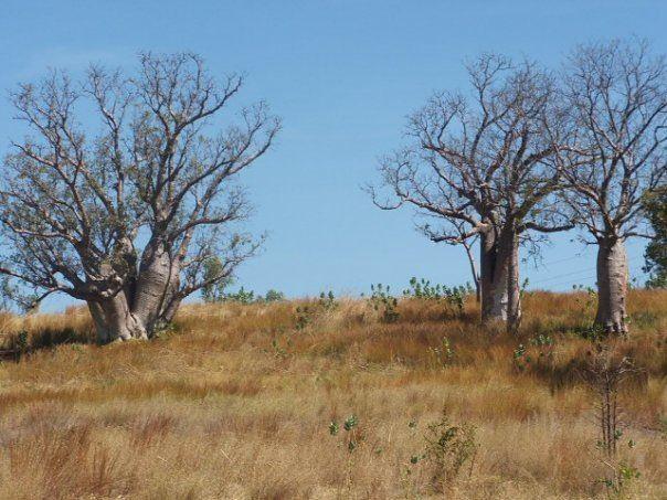Boabs, Kununurra Western Australia
