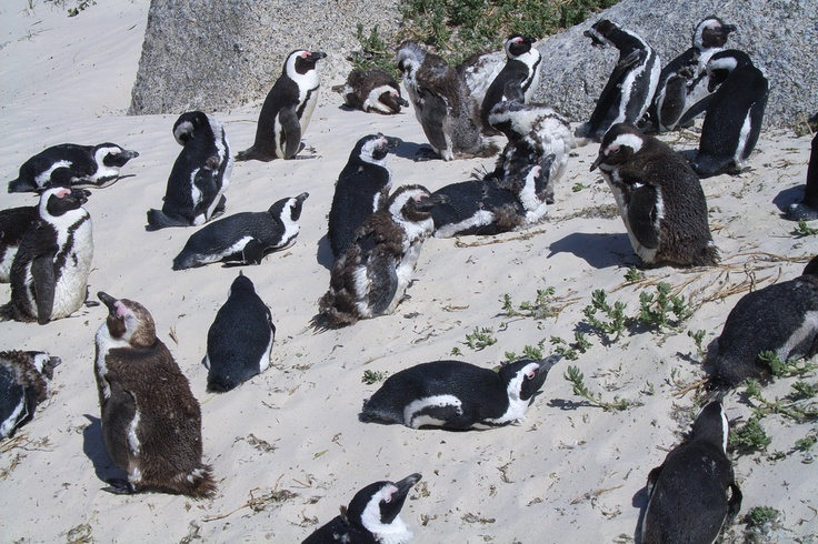 Pinguins South Africa
