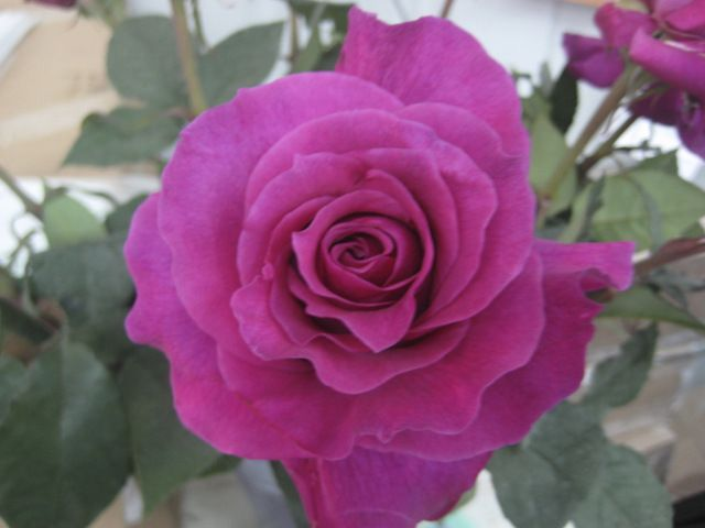 17 best images about garden roses on pinterest - Rose cultivars garden ...