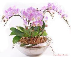Cara Budidaya dan Menanam Bunga Anggrek Dalam Pot