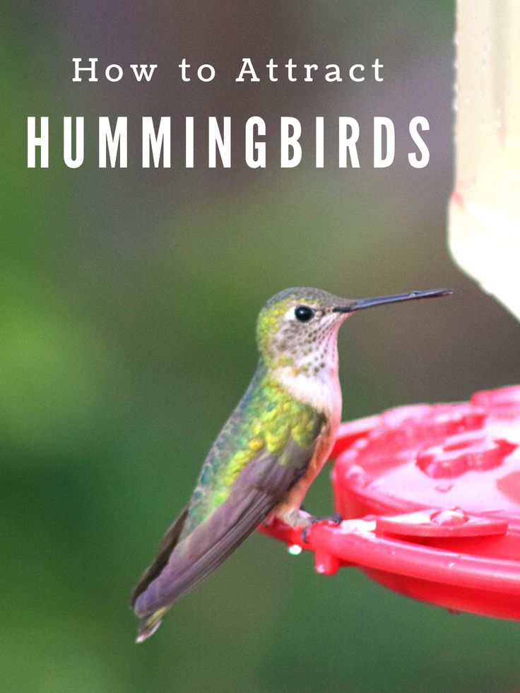 How to Attract Hummingbirds Homemade and Happy How to
