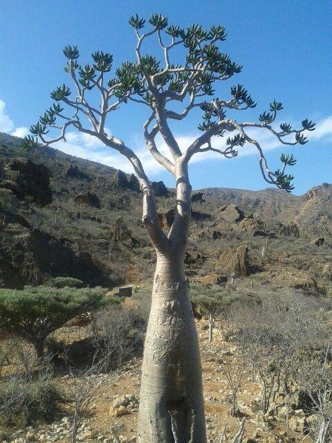 Yemen plant life in Socotra.