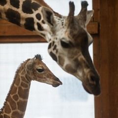 Baby boy Giraffe named 'Rothschild' born at the Magdeburg Zoo
