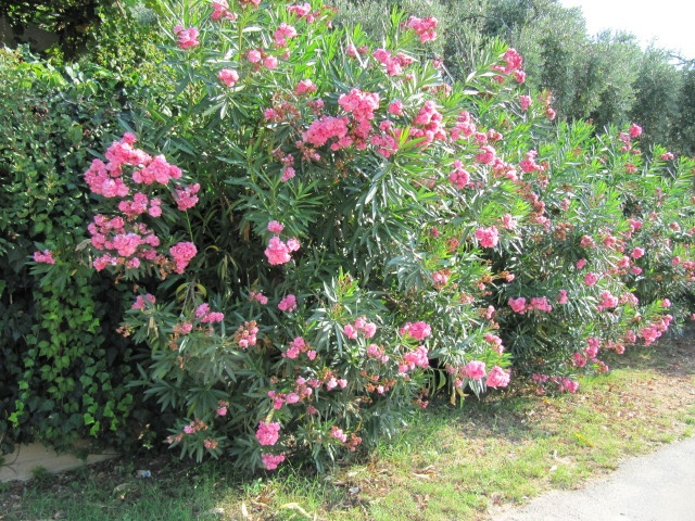 By Jackie Carroll Oleander plants (Nerium oleander) are among the most versatile of shrubs, with dozens of uses in southern and coastal landscapes. They tolerate a wide range of conditions, including difficult soil, salt spray, high pH, severe pruning, reflected heat from pavements and walls, and drought. But the one thing they can't withstand is…