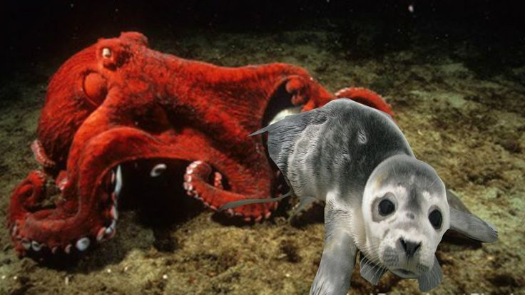 Sea Lion Unluckily Goes Into Octopus's Hunting Land And Takes The Consequence