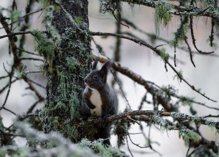 scoiattolo rosso  _  Sciurus vulgaris