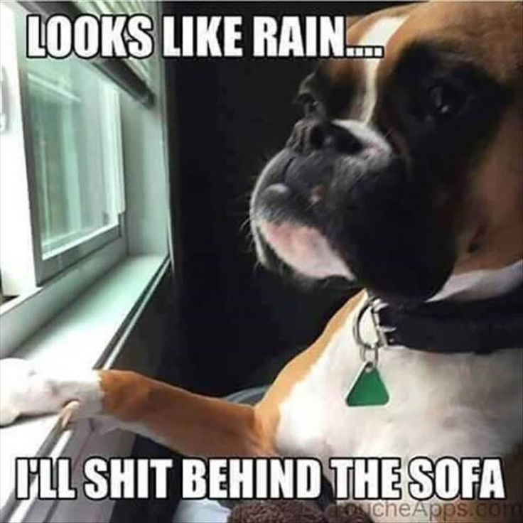 "It looks like Rain"".... ""I'll shit behind the sofa"", (I know this is a Boxer, but it's the same Spoiled French Bulldog attitude, i HAD to post it!) }; )"