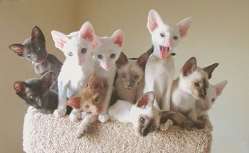 Oriental Shorthairs - Cats -