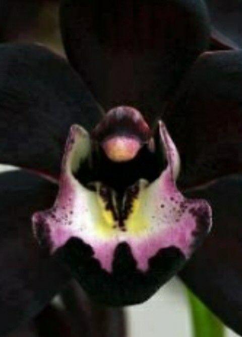 Zwarte orchidee