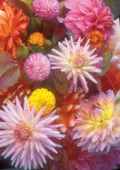 Dahlia-lovers in garden Zones 4a-7b will swoon upon receiving this Dreamy Dahlia Collection consisting of 5 favorite dahlias from @Donna Maywald House Gardens Heirloom Bulbs Old House Gardens.