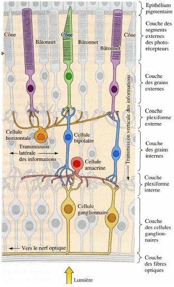 couches de cdellules