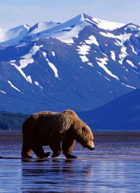 アラスカにあるマッキンリー(デナリ)麓にいたクマ。