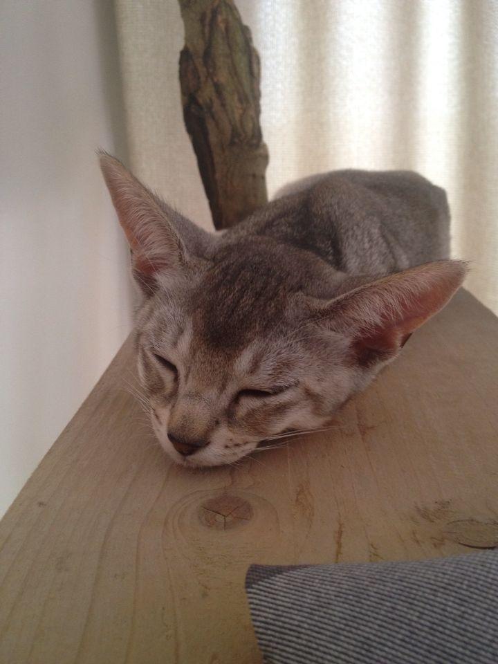 Abessijn kitten Galo Sleeping <3
