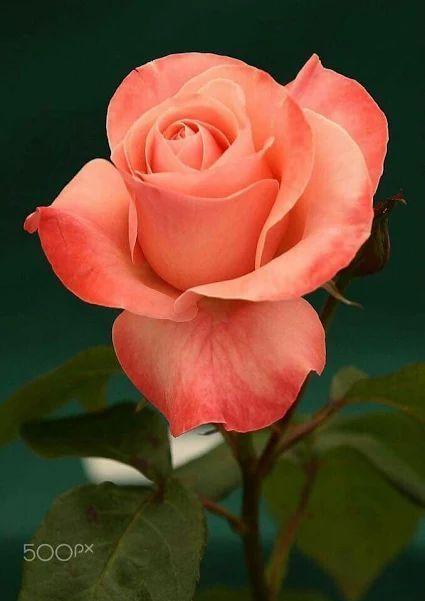 60 verschiedene Rosenfarben. Genießen Sie reizende Rosenblumensammlung. – Blumen