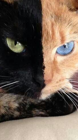 What a beautiful cat! This is Venus, she is a Chimera cat. No, she is not photoshopped :)