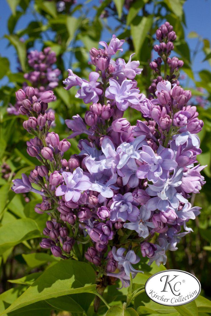 die besten 25 lila pflanzen ideen auf pinterest lila garten lila bl hender baum und bl hende. Black Bedroom Furniture Sets. Home Design Ideas