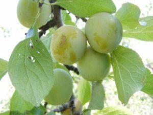 Prunus domestica Reine Claude d'Oullins V