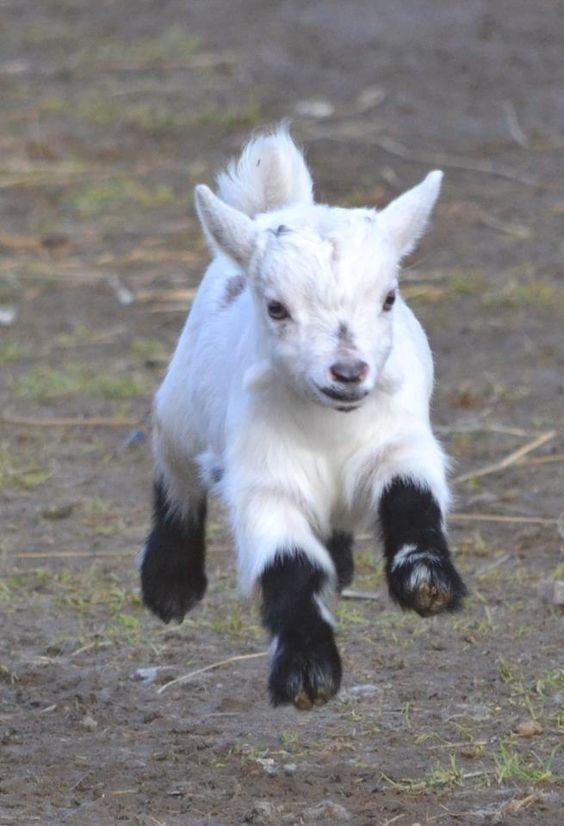 CABRA ENANA. Originaria de Africa. Alcanzan apenas 30 cm. de altura y pueden parir desde los 6 u 8 meses de edad.Son muy cariñosas y fàciles de mantener.: