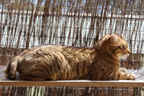 Catzgonewild Tambo, black spotted tabby Highlander