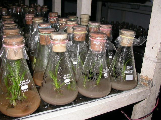 Plant tissue culture. a method of growing disease-free plants.