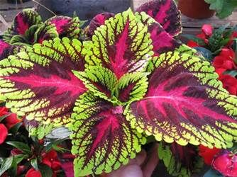 coleus forskohlii is a hard plant that grows along the dry slopes of ...