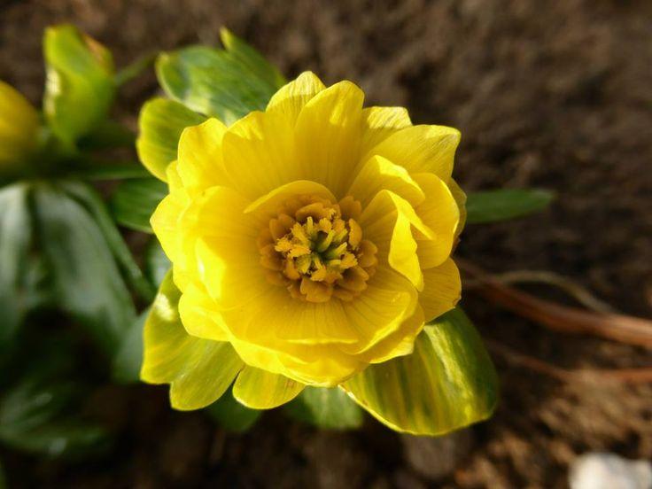 Eranthis h. 'Flore pleno'.