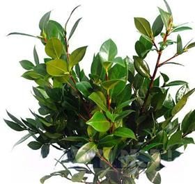 Mayesh Wholesale Florists - Camelllia Leaf - Decorative dark green glossy oval leaves born on laterals on long semi-woody stems. In spring and early summer the foliage bears inconsequential flower buds. Stems should be cut and the leaves hydrated in a low sugar holding solution.