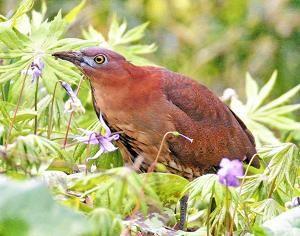 幻の鳥...「ミゾゴイ」確認 福島で8年ぶり、絶滅危惧1類指定:福島民友ニュース:福島民友新聞社 みんゆうNet