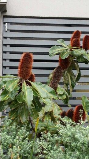 Banksia.