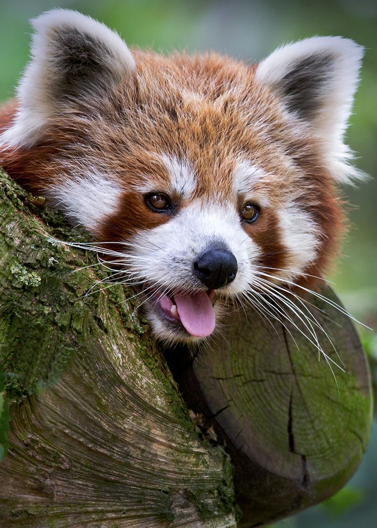 Red Panda are so adorable.. i Love looking at them.. there so beautiful!
