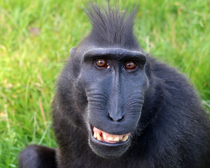 Celebes Crested Macaque by Edwin Butter - Photo 160447581 - 500px