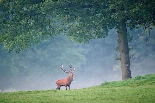 Благородный олень в лесу недалеко от Ан-сюр-Лесс, Бельгия.