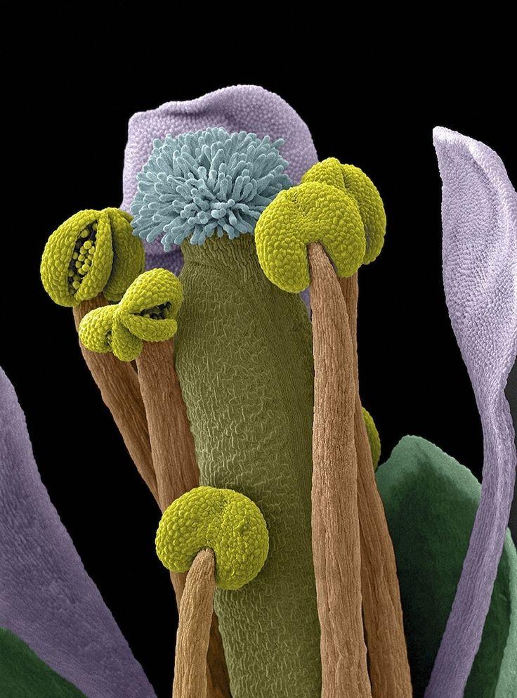 Scanning electron microscope image of the Arabidopsis thaliana flower.